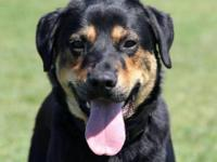 Rottweiler - Shaggy - Large - Young - Male - Dog Shaggy