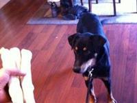 Rottweiler - Shelby - Medium - Young - Female - Dog
