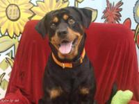 Rottweiler - Turbo - Large - Young - Male - Dog TURBO