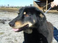 Rottweiler - Willow - Large - Adult - Female - Dog I am