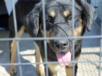 Rottweiler - Bengal - Medium - Young - Male - Dog