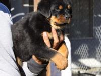 Rottweiler Puppies AKC Mother Germany Import, Puppies 8