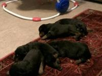 Rottweiler puppy born 8/13/13. 10 weeks old. Ready to