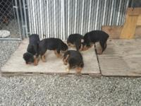 6 Week Rottweiler pups Tails and Dew Claws removed 1st