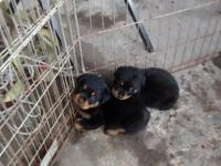 I have 2 boy Rottweiler puppies looking for a good