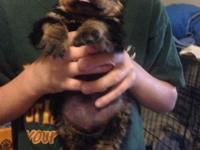 CKC Rottweiler puppies 1 male and 1 female still