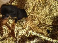 AKC registered Rottweiler puppies. 2 male 3 female. Mom