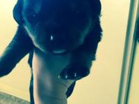 We are now taking deposits on our Rottweiler puppies we