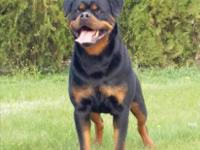 Rottweiler puppies for sale Best Of The Best Champion