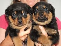 rottweiler puppies breed...making puppies ready for