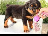Animal Type: Dogs Breed: Rottweiler Champion bred