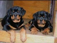 I'm looking for a big Rottweiler puppy, I'm willing to