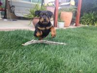 Adorable female Rottweiler puppy, just in time for