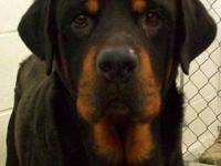 Rottweiler - Rocco - Large - Adult - Male - Dog Rocco