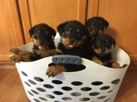 Beautiful Rottweilers. Girls and Boys. They are AKC