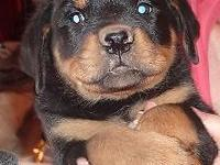 Beautiful rottie pups 4 males ready for a home .Akc