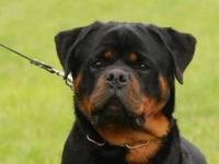 Beautiful AKC registered ROTTWEILERS PUPPIES Purebred.