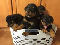 Beautiful puppies born on June 10, 2015. Girls and