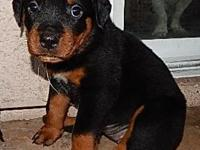 Rottweiler puppies 4F/4M tails and dew-claws done, will