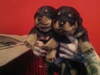 2 boys 3girls Rottweiller pups for sale, hand reared
