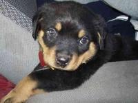 Beautiful Tan and Black Rottweiler pups. playful will