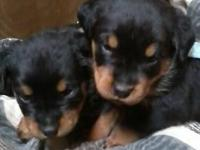Rottweiler/German Shepard puppies for sale. Puppies