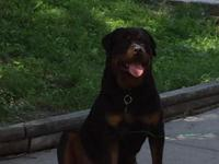 Huge Rottweiler father American and mother German 1 yr