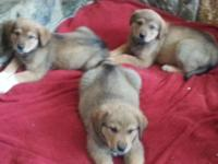 Rottweiler/great Pyrenees puppies . Male and female