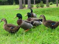These are gorgeous, friendly ducks, just looking for a