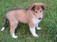AKC Rough Coat Collie puppies. 10 weeks. Old. Just like