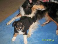I have 4 Rough Coated Collie/Border Collie mix puppies