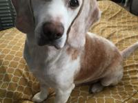 Rougie is a sweet Lemon guy who came to DFW Beagle
