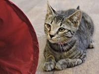 Roux's story Roux is a highly energetic little tabby,