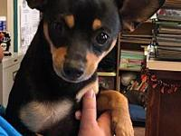 My story Rowdy is a Chihuahua/Rat Terrier mix.  He