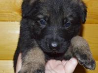 Rowdy is a sable , full AKC reg. German Shepherd male