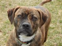 Roxie is a calm and sweet 3 year old mix breed dog. She