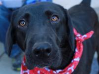 Roxie is a 3 year old, 65 pound black female lab that