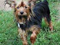 Roxie's story Roxie Female Yorkshire Terrier 1 year 10