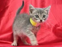 My story Roxie is an 8 week old, female, light gray