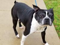 Meet Roxie! This sweet Boston Terrier mix is about 3