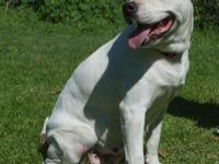 ROXY is a 4-5 yr old, 70lb  american bull dog/ pit
