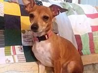 Roxy's story Roxy 4 yr old Toy Fox Terrier Mix I love