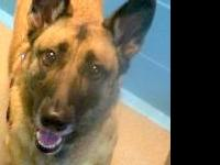 ROXY LYNN is a 2.5 yr. old Belgian Malinois surrendered