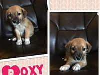 Roxy's story     Roxy or Foxy Roxy as we call