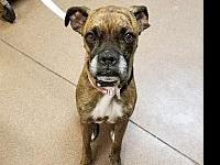 My story Roxy is a 40 pound boxer who is very smart and