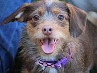 My story Roxy is a 15 lb scruffy doxen terrier mix who