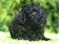 Taking deposits now - Royal Standard Poodle Pups -