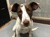 My story Royal is a beautiful, female, pointer mix
