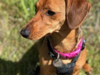 Ruby is a 6 months old  Dachshund mix about 20 pounds.