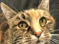 Ruby is a l3.9 year old female short-haired torti cat.